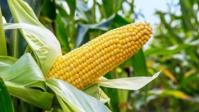 maize prefered 696x392 1